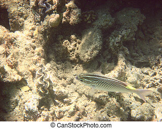 angelfish in the Red sea