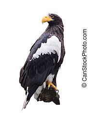 Stellers sea eagle over white - Stellers sea eagle Isolated...