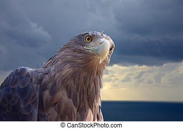 white-tailed eagle against sea scenic