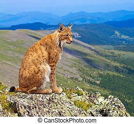Lynx sits in wild area - Lynx sits on the background of wild...