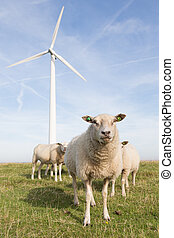 Windmill and sheep in the Netherlands - Windmill and sheep...