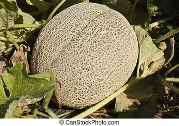 cantaloupe - a single cantaloupe growing on the vine in a...