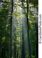 Sunbeam entering rich deciduous forest in misty morning with...