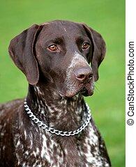 Deutsch Kurzhaar   German Short-haired Pointing Dog