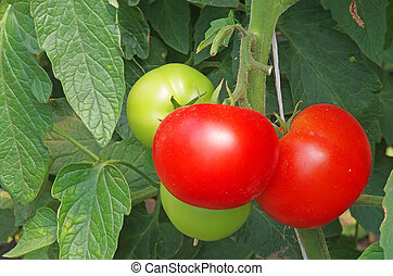Green and red tomatoes on a bunch