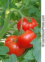 Red tomatoes on a bunch in greenhouse