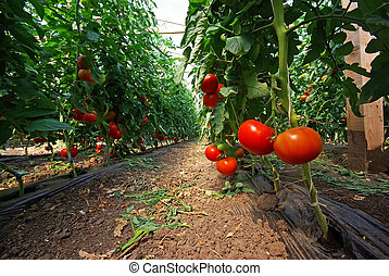 Tomato plant in a greenhouse, close image
