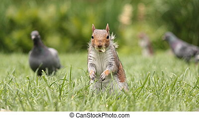 squirrel at lunch - Squirrel at lunch at St James's park in...