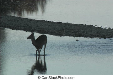 Whitetail Doe in River - a whitetail doe walking across a...