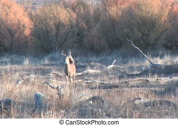 Alert Whitetail Buck - an alert whitetail buck walking...