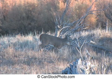 Whitetail Buck - a whitetail buck walks by carefully