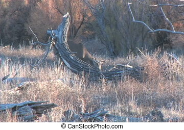 Whitetail Buck Feeding - a feeding whitetail buck comes out...