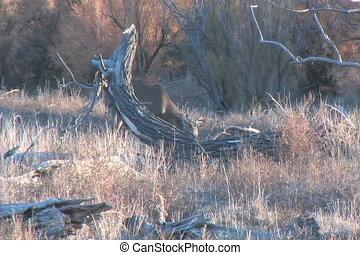 Whitetail Buck Feeding
