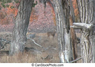 Whitetail Buck and Doe in Rut - a whitetail buck takes off...