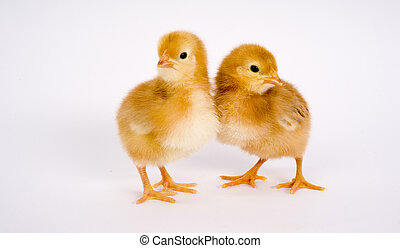 Chick Copule - One Newborn Chicken Couple stands together
