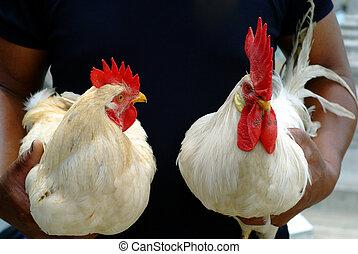 Beautiful White Cock - Two beautiful  white cock in hands