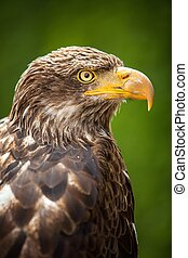 The Steppe Eagle (Aquila nipalensis) - portrait. - Close up...