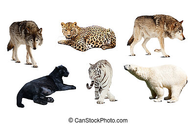 Set of Carnivora mammal. Isolated over white - Set of...