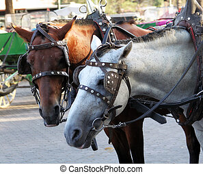 Portrait of two harnessed horses