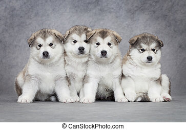 Four malamute puppies - One month old alaskan malamute...