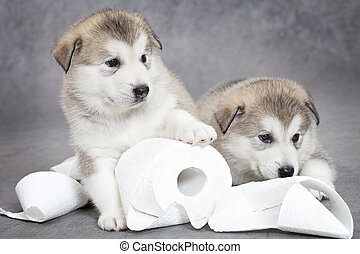 Malamute puppies play with toilet paper - One month old...