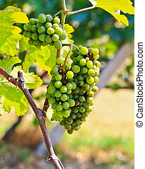 Immature grapes