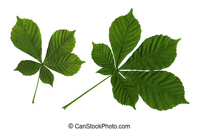 leaves of a chestnut - Green leaves of a chestnut on the...