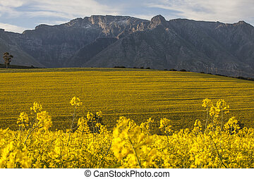 Canola fields of Harvest - Image of canola fields South...