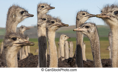 Ostrich Heads - Image of collection of ostriches