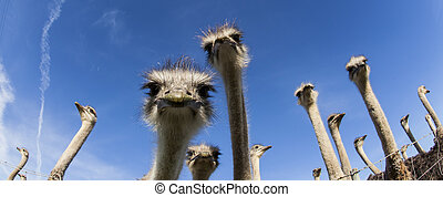 Ostrich Heads - Image of ostriches looking curiously at...