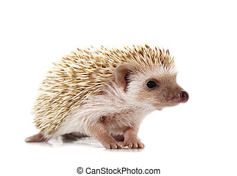 hedgehog - cute little hedgehog isolated on white