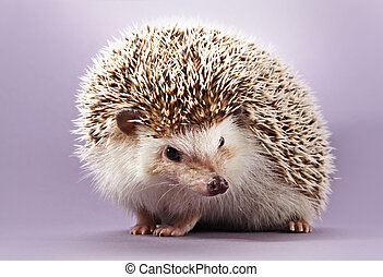 hedgehog - cute little hedgehog, purple background