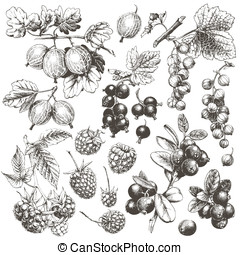 Berries. - Great hand drawn illustrations of berries...