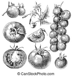 Tomatoes - Great set of hand drawn tomatoes isolated on...