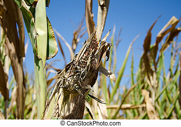 Drought damage - Ear of corn damaged by severe and extended...