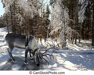 reindeer in the winter forest - In the foreground is a...