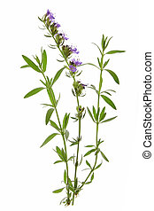 Hyssop Hyssopus officinalis - twigs with leaves and flowers...