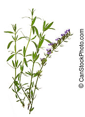 Hyssop (Hyssopus officinalis) - twigs with leaves and...