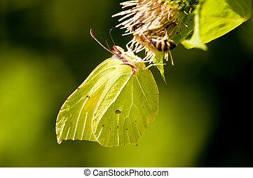 brimstone butterfly, Gonepteryx rhamni