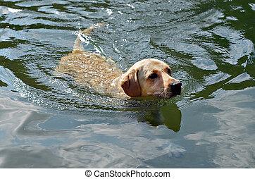 Golden Retriever Swimming - A golden Labrodor Retiever in...