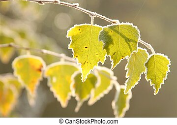 Autumn leaves covered with frost - Autumn birch leaves with...
