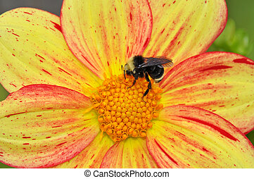 Queen bee on flower - Queen bee gathering honey from dahlia...