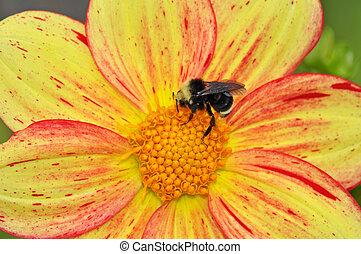 Queen bee on flower - Queen bee gathering honey from dahlia...