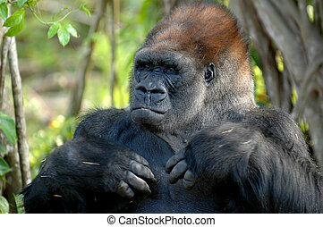 Silverback Gorilla - Head and shoulders portrait of a...