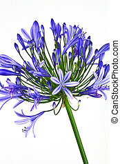 African Lily (Agapanthus) - An African Lilly flower in full...
