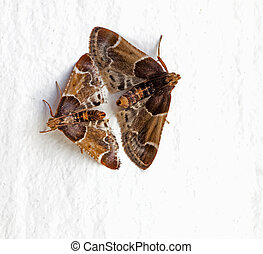 Pyralis farinalis aka Meal moths on white - Male and female,...