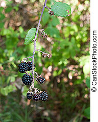 Wild blackberries, differential focus - Free food to forage...