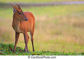 barking deer in forest