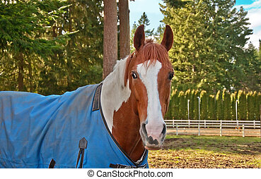 One Paint Horse with a Blue Blanket On