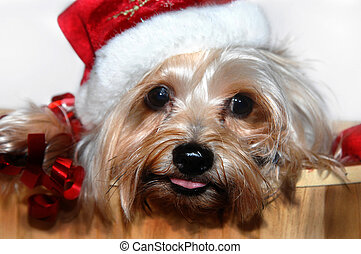 Ho Ho Yorkie - Sweet Yorkie puppy wears a red culy ribbon...